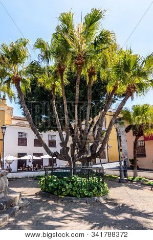Wonderful Palm Tree With Several Cups In A Square In The Center Of Icod De Los Vinos. April 14, 2019