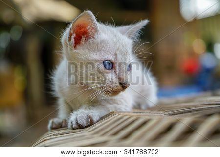 The Siamese Kitten On The Basketwork, Portrait Of Thai Cat