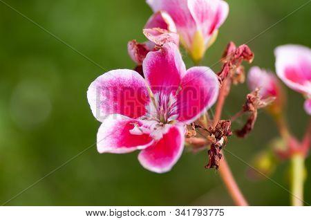 Pelargonium Pink Flower, Close Up. Rose Geranium, Pink Blossom With Purple Strips. Scented Pelargoni
