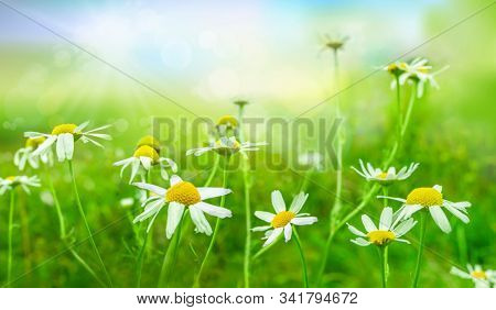 Green meadow with wild flowers in strong sunlight. Wild chamomile, matricaria chamomilla, Nature background. Spring landscape.