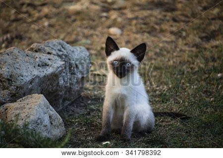 Young Siamese Cat Outdoor In The Garden