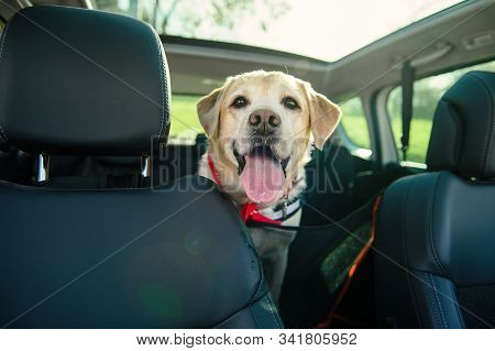 Carriage Of A Dog In A Car. Car Cover For Animals. Dog In The Car. Labrador Travels.