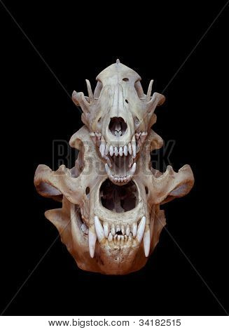 Skull of a bear and wolf