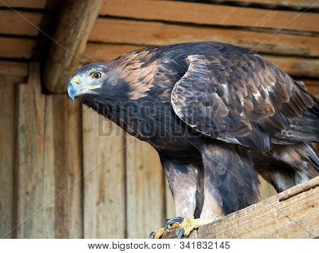 Golden Eagle Sits On A Wooden Platform. The Bird's Gaze Is Wary.