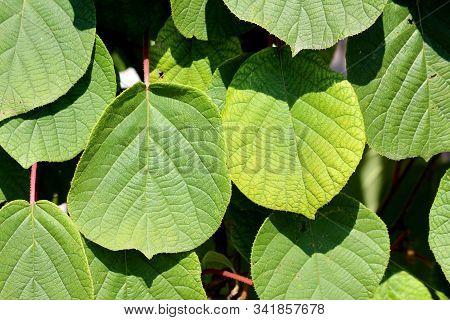 Background Texture Of Dense Kiwi Or Kiwifruit Or Chinese Gooseberry Woody Vine Plant Large Yellow To