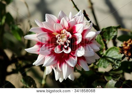 Beautiful Dahlia Bushy Tuberous Herbaceous Perennial Plant With Large Composite Flower Head With Ope