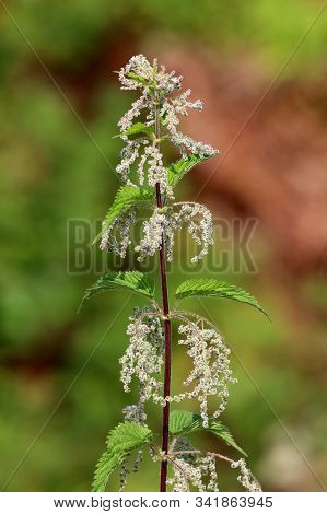 Common Nettle Or Urtica Dioica Or Stinging Nettle Or Nettle Leaf Or Nettle Or Stinger Herbaceous Per