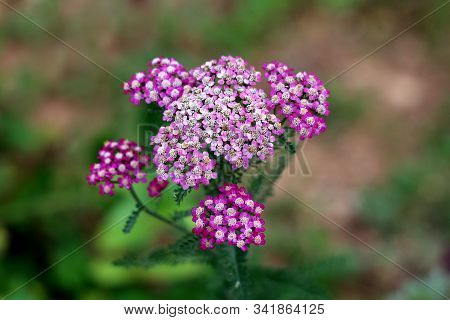 Common Yarrow Or Achillea Millefolium Or Plumajillo Or Herbal Militaris Or Gordaldo Or Nosebleed Pla