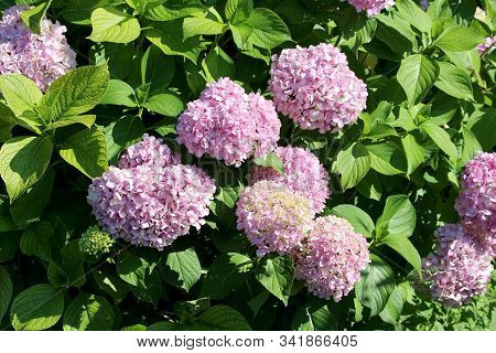 Densely Planted Hydrangea Or Hortensia Flowering Garden Shrub With Bunches Of Small Pink Flowers Wit