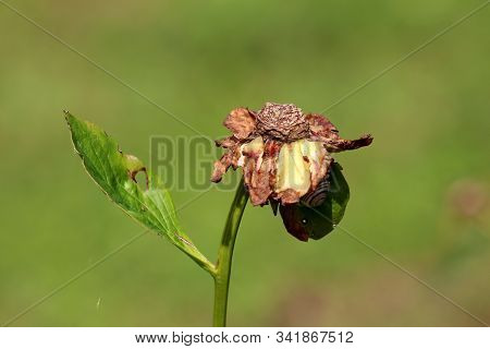Dried And Shriveled Zinnia Flower With Partially Fallen Multi Layered Petals And Snail Underneath Pl