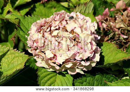 Fly On Top Of Hydrangea Or Hortensia Flowering Garden Shrub With Bunch Of Small Light Pink Flowers W