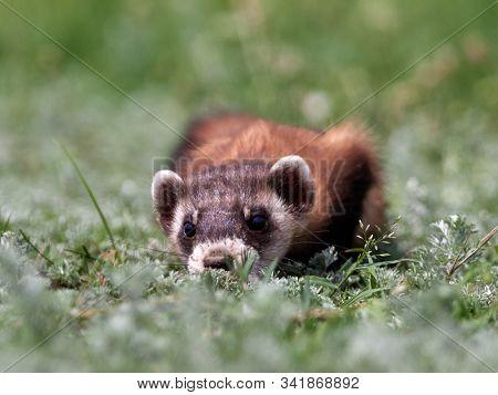 Steppe weasels or Masked polecats (Mustela eversmanii) in natural habitat, Dobrogea, Romania
