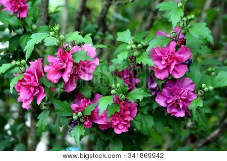Hibiscus Syriacus Freedom Or Rose Of Sharon Freedom Or Syrian Ketmia Freedom Or Rose Mallow Freedom