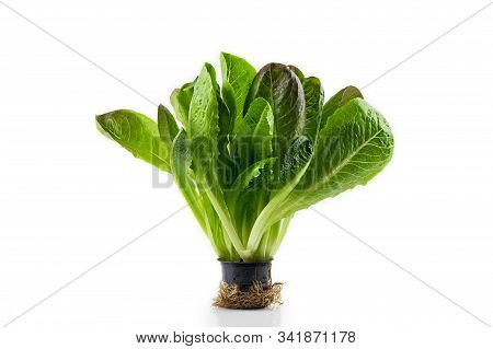 Romaine Lettuce Plant In Black Plastic Pot With Roots Isolated On White Background. Fresh Green Sala