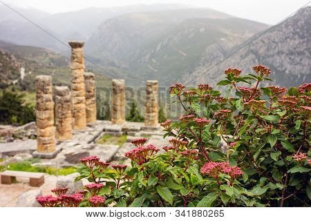 The Ruin Of The Temple Apollo In Delphi Behind Red Plant Whuch Is Out Of Focus For Better Depth Effe