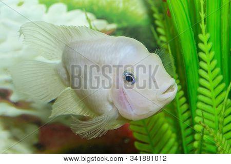 Freshwater Aquarium Fish, Cichlasoma Severum, Cichlid. Fish In The Aquarium.