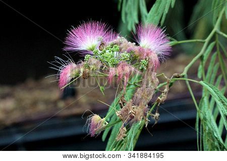 Silk Plant Or Albizia Or Silk Tree Or Sirises Or Albizzia Fast Growing Short Lived Tree With Globula