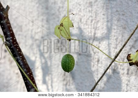 Single Cucamelon Or Melothria Scabra Or Mouse Melon Or Mexican Sour Gherkin Or Mexican Miniature Wat