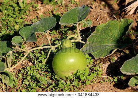 Single Ornamental Gourd Plant Vine With Large Dark Green Leaves And Flower Buds Surrounding Small Li