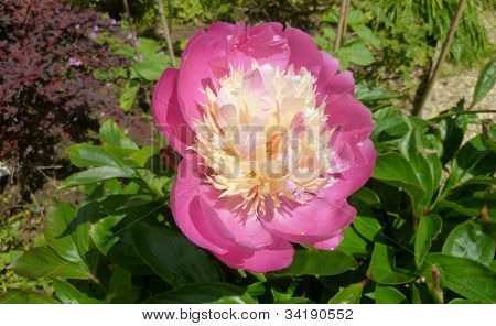 A Blooming Peony