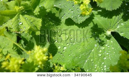 Lady's Mantle covered in raindrops