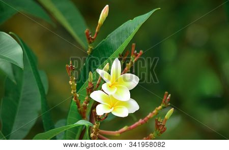 Frangipani Flower - White Frangipani Flower Blooms With A Blur Background