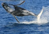 Clean out of the water breaching Humpback Whale poster