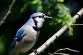 Close Profile of Blue Jay in Summer poster