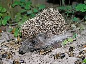 A hedgehog is an excellent hospital attendant of apiary. He eats up the lost insects. poster