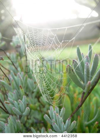Spiderweb In Vygie Bush With Early Morning Mist