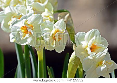 Sir Winston Churchill Daffodils