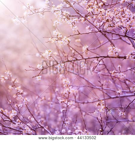 Beautiful tender cherry tree blossom in morning purple sun light, floral background, spring blooming flowers poster