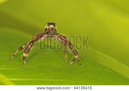 long-legged jumping spider is on the green leaf, front view poster