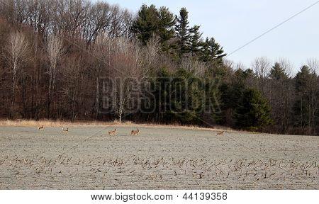 Several deer grazing on Winter fields under early morning sunshine. poster