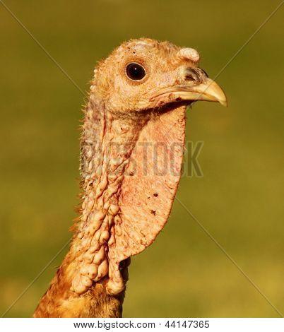 Bourbon Red Turkey Head
