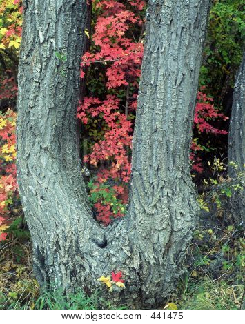 Canyon Maple Tree & Leaves