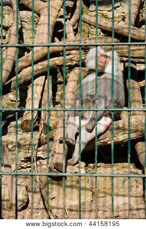 Monkey Baboon Sitting In The Cage Of Zoo