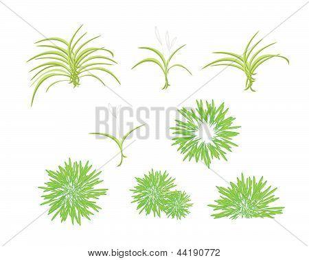Een isometrische boom instellen van Dracaena Plant