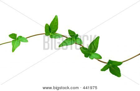 Green Ivy On White