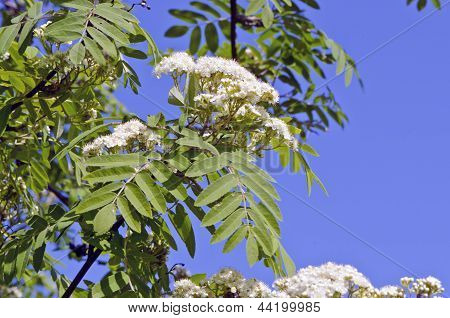 White Rowan (sorbus Aucuparia) Spring Bloossoms