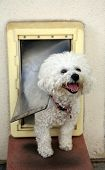 A Bichon Frise dog Smiles as she goes through her Dog Door poster