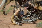 Wild dog pack lay in the road resting, showing teeth poster