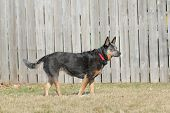 Australian Cattle Dog - Blue Heeler in the yard looking alert poster