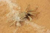 Horn-eyed ghost crab (Ocypode ceratophthalmus) on a beach poster