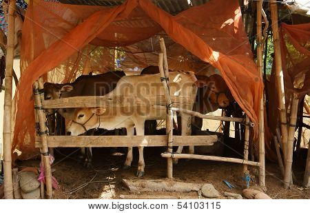 Herd of cows standing in cowshed with mosquito net to protect out mosquitoes poster