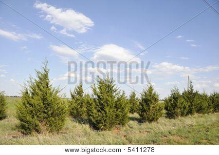 Sky And Fir Trees