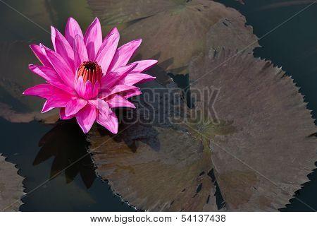 Fuchsia-colored Star Lotus Flower