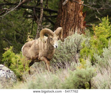 a big horn ram climb up a hill poster