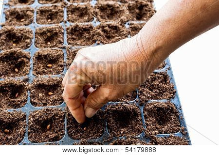 A Hand Sowing Watermelon Seed