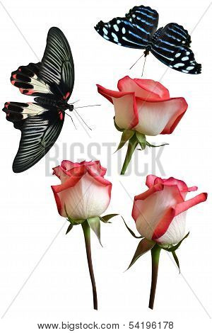 Roses flowers it is isolated butterfly pachliopta aristolochiae